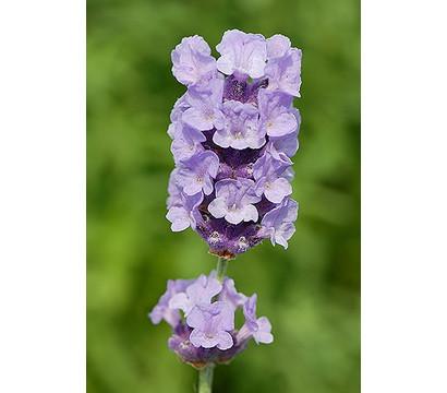dehner downderry lavendel 39 melissa lilac 39 dehner garten center. Black Bedroom Furniture Sets. Home Design Ideas