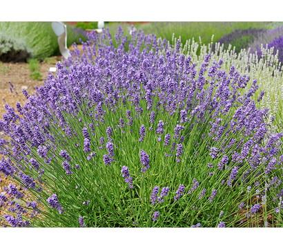 dehner downderry lavendel 39 melissa lilac 39 dehner. Black Bedroom Furniture Sets. Home Design Ideas