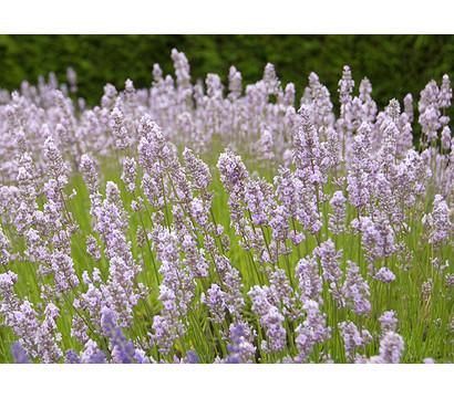 dehner downderry lavendel 39 miss katherine 39 dehner garten center. Black Bedroom Furniture Sets. Home Design Ideas