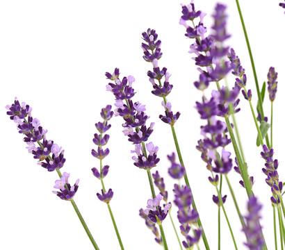 dehner downderry lavendel 39 peter pan 39 dehner. Black Bedroom Furniture Sets. Home Design Ideas