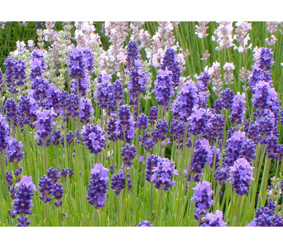 Dehner Downderry Lavendel 'Thumbelina Leigh', 8er Set