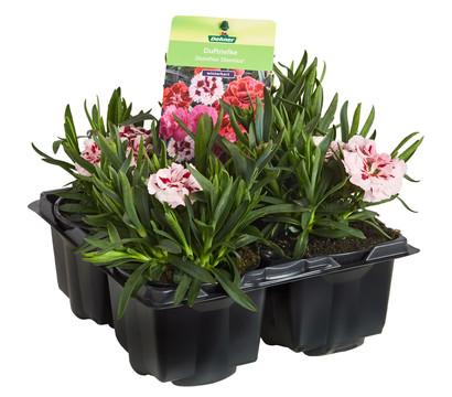 Dehner Gartennelke, 4er Pack