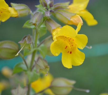 Dehner Gelbe Gauklerblume