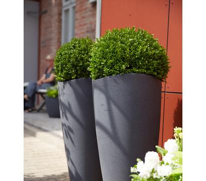 dehner gew hnlicher buchsbaum buchs kugel dehner. Black Bedroom Furniture Sets. Home Design Ideas