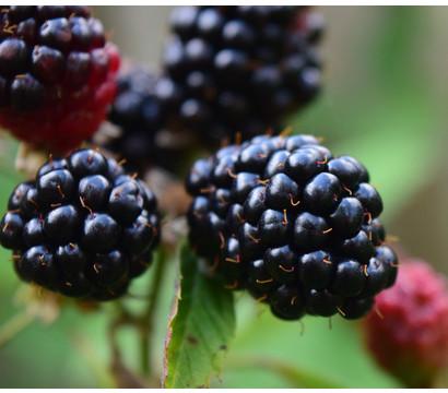 Dehner Gourmet Garten Brombeere 'Triple Crown'