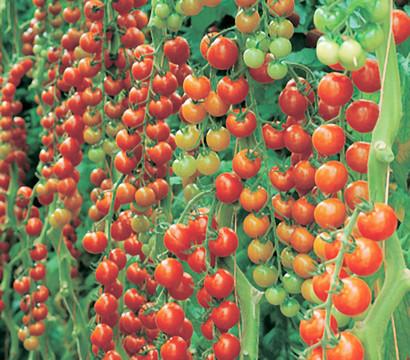 Dehner Gourmet Garten Cherrytomate