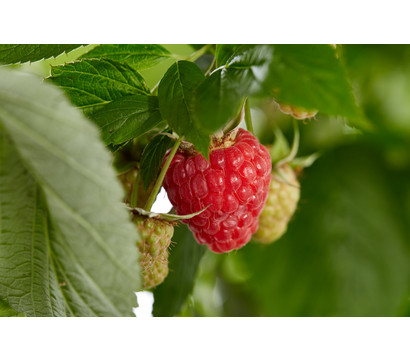 Dehner Gourmet Garten Himbeere 'Homecane®'