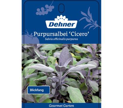dehner gourmet garten purpursalbei 39 cicero 39 dehner garten center. Black Bedroom Furniture Sets. Home Design Ideas