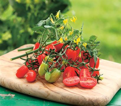 Dehner Gourmet Garten Tomate 'Dasher' am Spalier