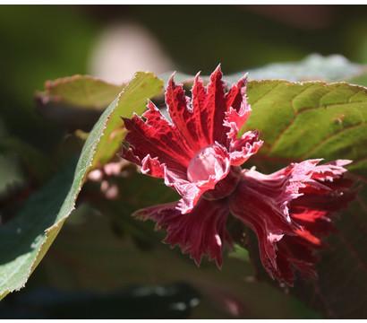 Dehner Haselnuss 'Rote Zellernuss'