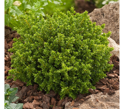 Dehner hebe 39 green globe 39 strauchveronika 39 green globe for Green pflanzen