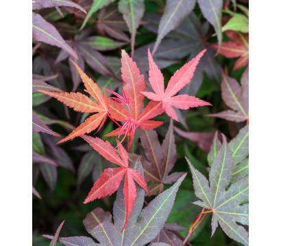 Dehner Japanischer Fächerahorn 'Atropurpureum' - Roter Fächerahorn - Schale