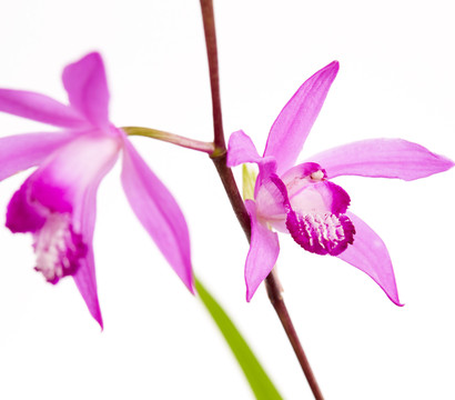 Dehner Japanorchidee - Gartenorchidee