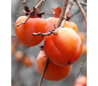 Dehner Kaki 'Rojo Brillante' - Kaki-Pflaume 'Rojo Brillante'