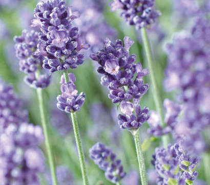 Dehner Lavendel 'Felice Purple'