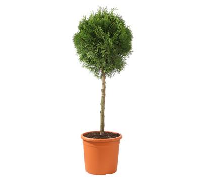 dehner lebensbaum 39 smaragd 39 halbstamm dehner garten center. Black Bedroom Furniture Sets. Home Design Ideas