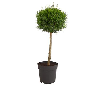 dehner lebensbaum 39 smaragd 39 st mmchen dehner garten center. Black Bedroom Furniture Sets. Home Design Ideas