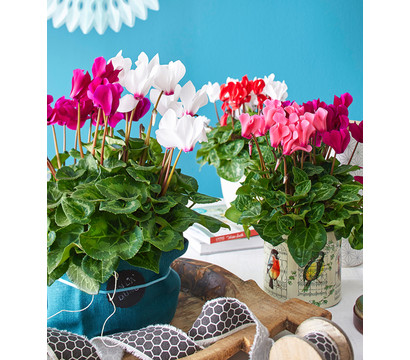 dehner premium alpenveilchen 39 twin 39 rosa lila dehner. Black Bedroom Furniture Sets. Home Design Ideas