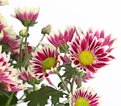 dehner premium chrysantheme 39 ciao improve 39 dehner garten. Black Bedroom Furniture Sets. Home Design Ideas