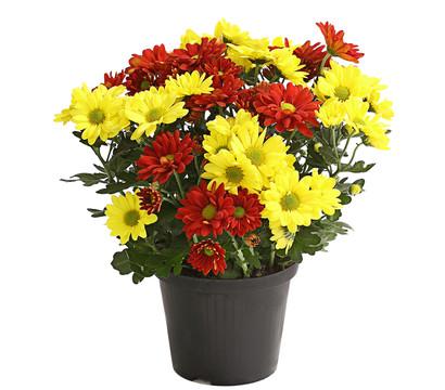 dehner premium chrysantheme 39 twin 39 gelb orange dehner garten center. Black Bedroom Furniture Sets. Home Design Ideas