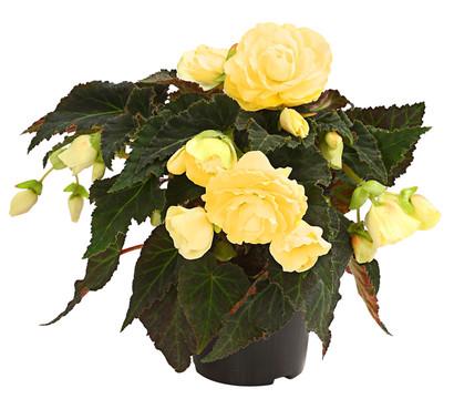 dehner premium h ngebegonie 39 champagner 39 dehner garten center. Black Bedroom Furniture Sets. Home Design Ideas