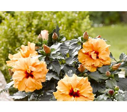 hibiskus pflege hibiskus als zimmerpflanze das ist bei der pflege zu hibiskus pflege von. Black Bedroom Furniture Sets. Home Design Ideas