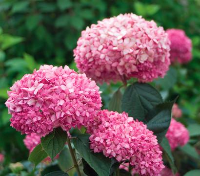dehner schneeball hortensie 39 pink annabelle 39 dehner. Black Bedroom Furniture Sets. Home Design Ideas