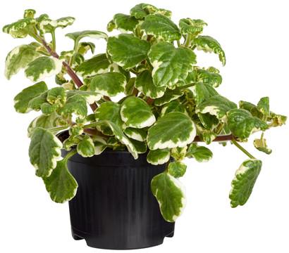 Dehner weihrauch dehner garten center for Halbschattige balkonpflanzen