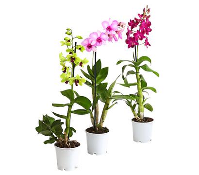 Dendrobium, 1-Trieber