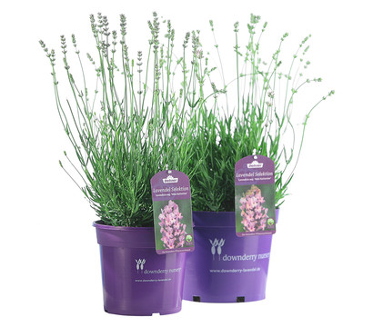 downderry lavendel 39 miss katherine 39 dehner garten center. Black Bedroom Furniture Sets. Home Design Ideas