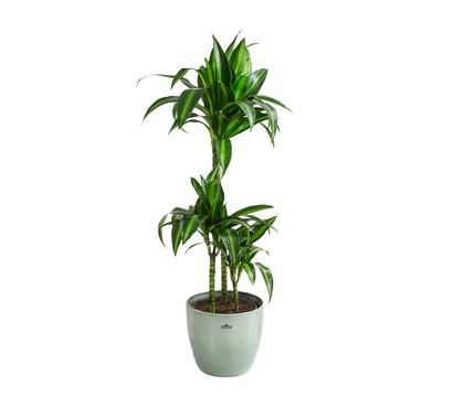 Drachenbaum 'Hawaiian Sunshine', in Keramik