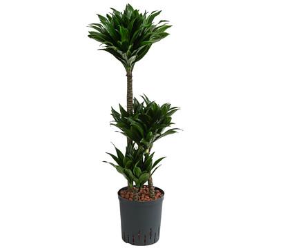 Drachenbaum, Hydrokultur