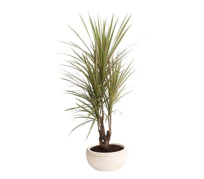Drachenbaum, in Keramik