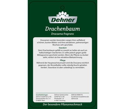 drachenbaum 39 lemon lime 39 dehner garten center. Black Bedroom Furniture Sets. Home Design Ideas