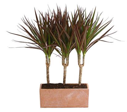 Drachenbaum 'Magenta', in Keramik-Kasten