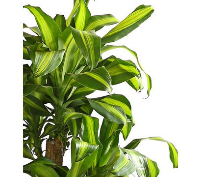 Drachenbaum 39 massangeana 39 karussell dehner garten center for Drachenbaum zimmerpflanze