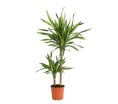 Drachenbaum 'Rikki'