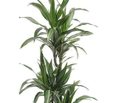 zimmerpflanze mit weißer blüte