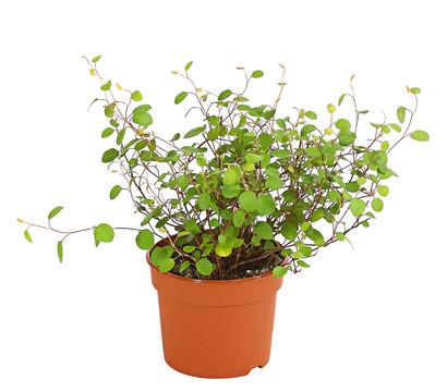 grüne oase für zuhause - mit grünpflanzen von dehner : dehner ... - Grose Wohnzimmer Pflanzen