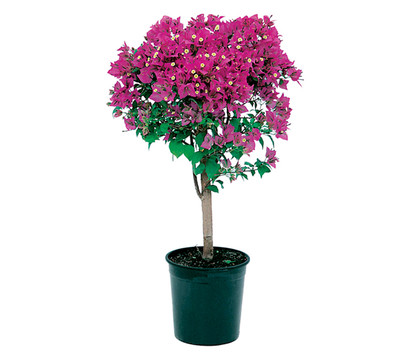 Bougainvillea kaufen drillingsblume bougainvillea for Winterharte topfpflanze