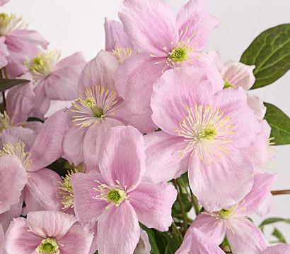 Duft-Clematis - Berg-Waldrebe 'Fragrant Spring'