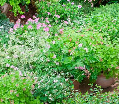 Duftgeranie dehner garten center - Duftende gartenpflanze ...