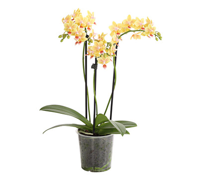 Duft-Orchidee 'Flacon Solaire'