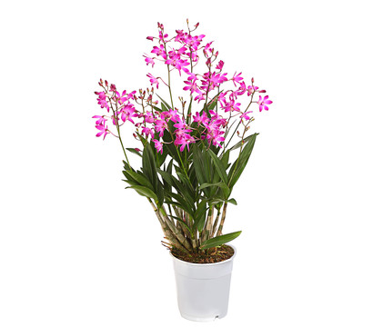 Duft-Traubenorchidee 'Berry'