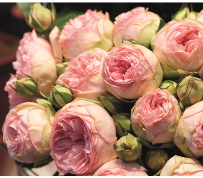 Edelrose - Noblesse® Spray Rose 'Lovely Rokoko'®