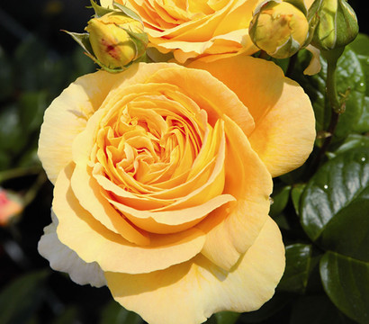 Edelrose 'Candlelight®'