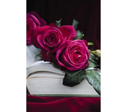 edelrose 39 j w v goethe rose 39 dehner garten center. Black Bedroom Furniture Sets. Home Design Ideas
