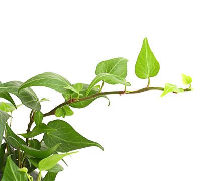 Efeu Als Zimmerpflanze efeu grünlaubig dehner garten center