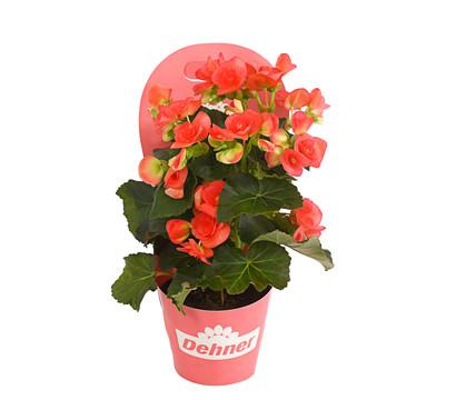 Elatior begonie dehner garten center - Begonie zimmerpflanze ...