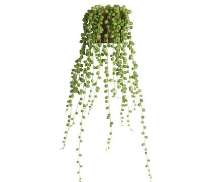 Erbsenpflanze - Perlenschnur